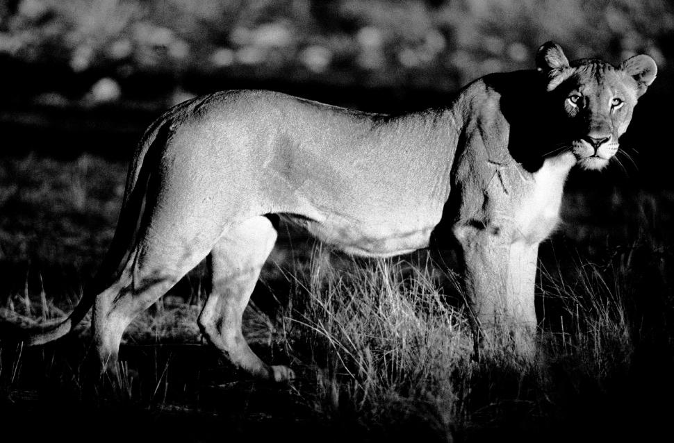löwin im gras Kopie